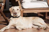 Labrador dog on fall sun lit porch