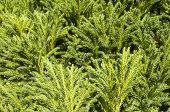 Foliage of evergreen plant