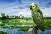 Brazilian Green Parrot in Pantanal, Brazil