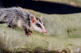 stock photo of opossum  - andean white eared opossum on a branch zarigueya raposa - JPG