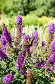 picture of butterfly-bush  - A butterfly on a butterfly bush in a public garden - JPG
