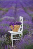 picture of lavender field  - Summer - JPG