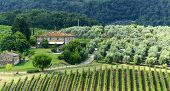image of olive trees  - Landscape in Chianti  - JPG