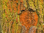 stock photo of lichenes  - close photo of bark of a tree covered with yellow and orange algae or lichens - JPG