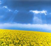 stock photo of rape  - Yellow rape field under thunder clouds - JPG