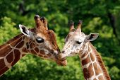 stock photo of herbivore animal  - The giraffe  - JPG