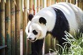stock photo of panda bear  - Beautiful breeding panda bear playing in a tree - JPG
