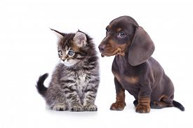 foto of coon dog  - cat and dog - JPG