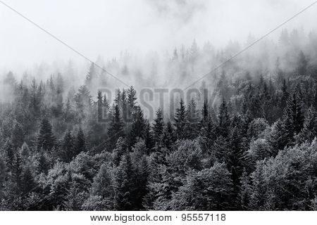Misty forests of evergreen coniferous trees in an ethereal landscape with low laying mist or cloud c