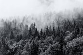 Misty forests of evergreen coniferous trees in an ethereal landscape with low laying mist or cloud c poster