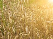 image of dry grass  - Field with yellow dry grass at sunset - JPG