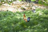stock photo of roosters  - colorful pretty rooster in green grass next to river - JPG