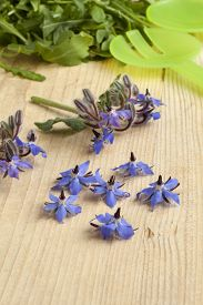 picture of borage  -  Fresh blue borage flowers to decorate the salad - JPG