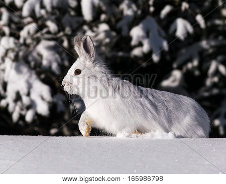 Hare that moves all in silence at Forest Montmorency, Quebec, canada