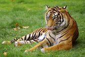 Wild tiger laying down on a green grass field.