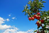 stock photo of apple orchard  - Branch with red apples with blue sky - JPG