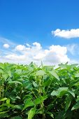 stock photo of soybeans  - Green Soybeans in Field with Copy Space - JPG