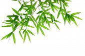 picture of bamboo leaves  - Bamboo leaves isolated on white - JPG