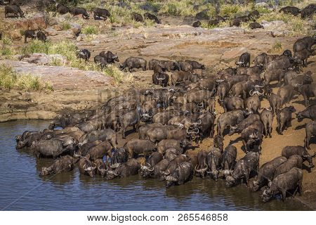 African Buffalo In Kruger National