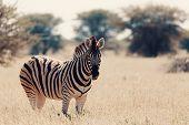 Beautiful Stripped Zebra In African Bush. Etosha Game Reserve, Namibia, Africa Safari Wildlife. Wild poster
