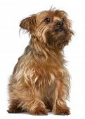 Yorkshire Terrier, 5 years old, sitting in front of white background