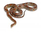Miami Corn Snake or Red Rat Snake, Pantherophis guttatus, in front of white background