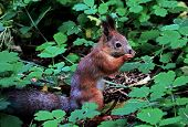 Eurasian Red Squirrel Gnaws Nuts. Ordinary Squirrel (lat.sciurus Vulgaris) Is The Genus Of Rodents O poster