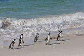 African penguins (spheniscus demersus) at the Boulders colony in Cape Town, South Africa.