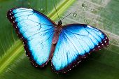 image of blue butterfly  - Beautiful blue butterfly on a wet green leave - JPG