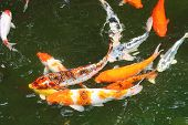 stock photo of koi fish  - Giant goldfish swimming around in a pond - JPG
