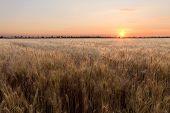 The Scorching Summer Sun / Wheat Field Not Long Before Sunset poster