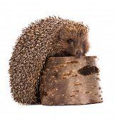 Nice hedgehog animal on stump isolated on white background