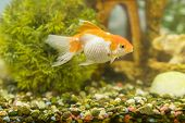Goldfish In Freshwater Aquarium With Green Beautiful Planted Tropical. Fish In Freshwater Aquarium W poster