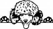 Animal Dog Poodle Peeking.eps poster