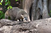 The Coati Is A Medium-sized Mammal Only Found On The American Continent. The Coati Is Found Widely D poster