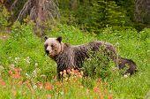 Grizzly Bear Feeding