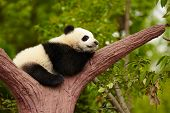 stock photo of pandas  - Sleeping giant panda baby - JPG
