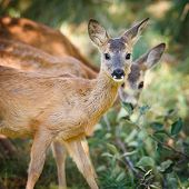picture of roebuck  - Young Roebuck  - JPG