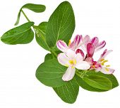 Flowering pink Honeysuckle isolated on white background