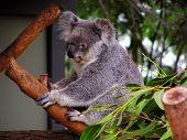 Kuddly Koala Bear