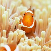 Anemone and Ocellaris clownfish close-up underwater