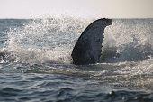 Fin Of Humpback Whale Splashing
