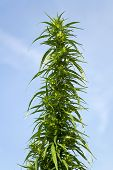 Bush Cannabis In The Sky