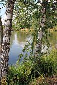 landscape - Russian birches
