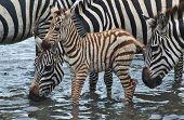 Bebê Zebra