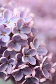 Springtime Lilac Background, Close Up