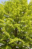 Basswood Tree
