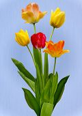 Tulips on pale blue background