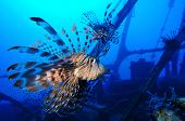 Lionfishes of shipwreck Zabargad Island, Red Sea