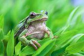 tree frog on grass stem closeup
